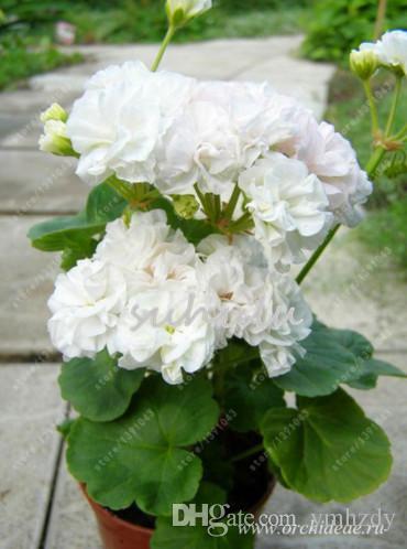 100 graines//sac Bonsai Escalade Géranium semences Cour intérieure rare en Pots Graines de fleurs