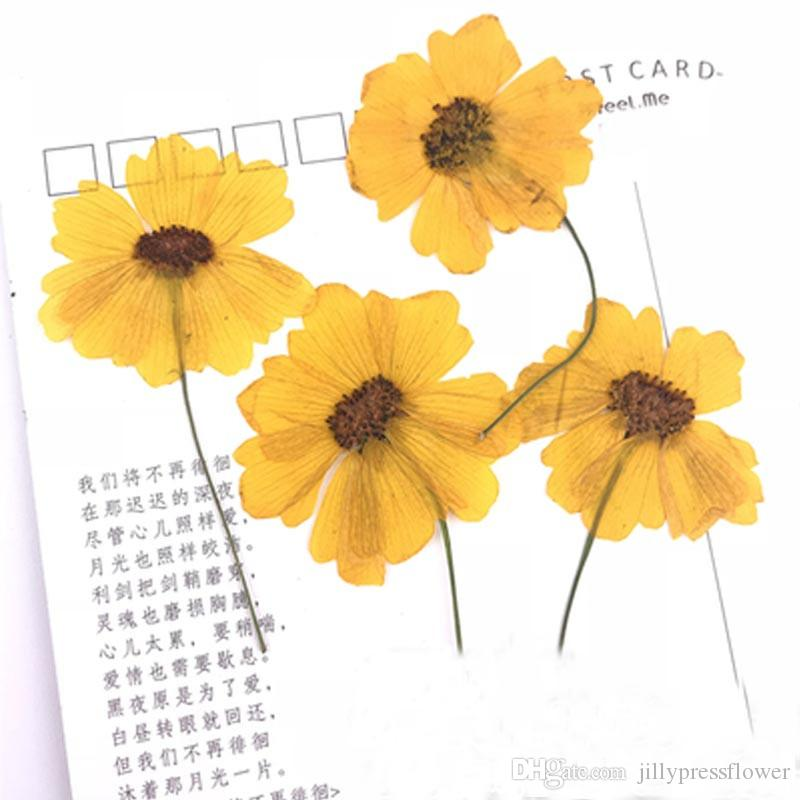 Customized Real Dried Pressed Sanvitalia Flowers Bracelet Yellow Color Natural Plant Specimens For Vegetation Teaching Props 120 Pcs