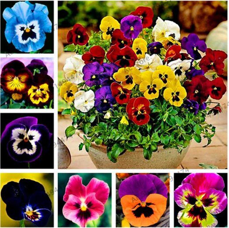 100pcs Red Pansy Seeds Tricolor Viola Seeds Flower Seeds Bonsai Pot Plant