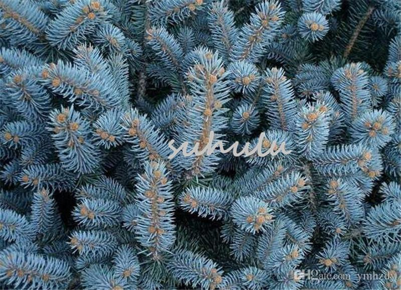 2021 Bag Blue Spruce Trees Bonsai Blue Spruce Seeds Picea Pungens Seeds Evergreen Ornamental Potted Tree For Home Garden From Ymhzdy 0 89 Dhgate Com