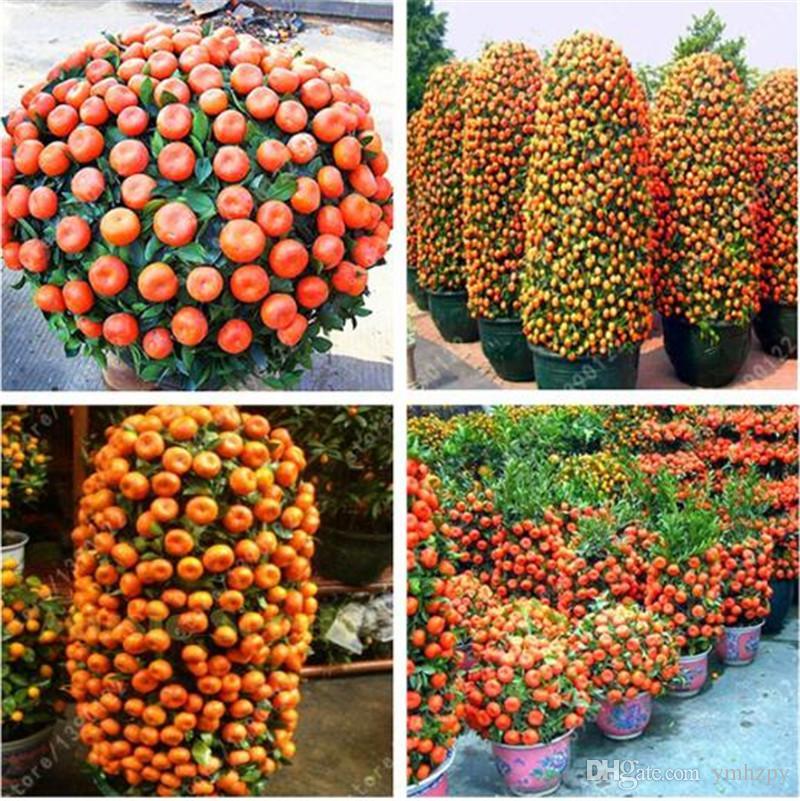 50 pcs / sachet Graines d'orange grimpant bonsaï d'arbre d'oranger Graines de fruits bio Comme un pot d'arbre de Noël pour la plante de jardin