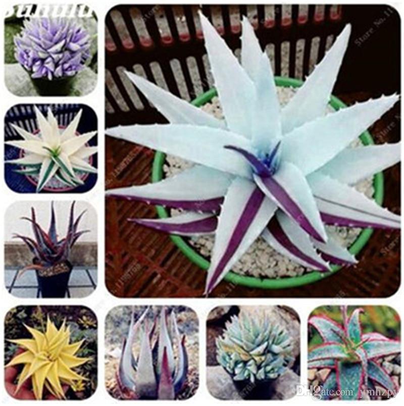 Color raro Semillas de Aloe 100 piezas Plantas suculentas de cactus Belleza comestible Fruta Vegetal Semillas Hierbas Planta Mini Jardín Balcón Plantas