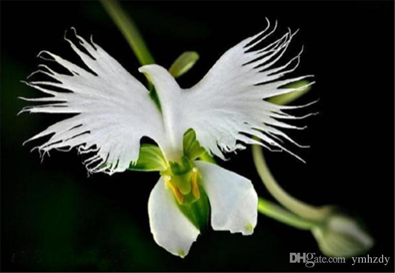 100pcs Un sac Dendrobium Graines rares graines Rillettes Orchid/ée Phalaenopsis Plantes Fleurs Bonsai Serre Culture Le taux bourgeonnant 99/% Rose ASTONISH GRAINES DASTONIE