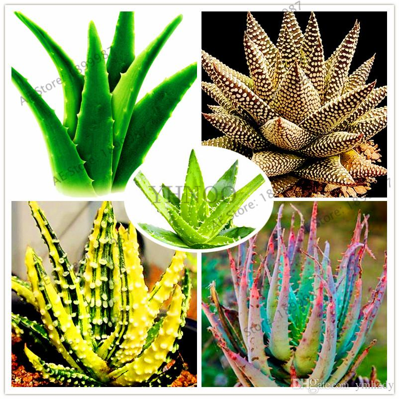 AF/_ 100Pcs Rare Aloe Vera Seeds Succulent Herbal Balcony Garden Potted Bonsai Pl