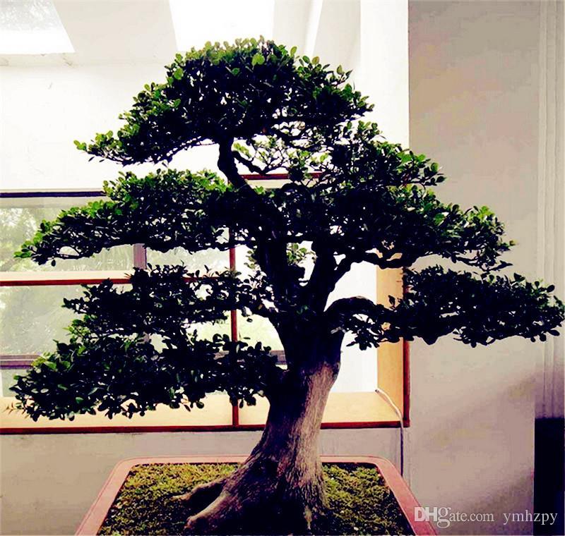50 piezas de semillas de Ficus benjamina, semillas en macetas, semillas de flores, variedad completa, la tasa de florecimiento del 95%, semenatsvety jardín perenne
