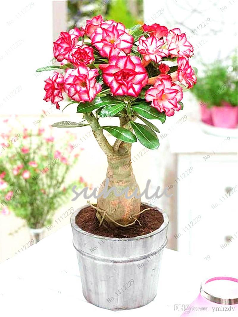 100% True Pink Desert Rose Graines Plantes Ornementales Balcon Bonsaï Fleurs En Pot Graines Adenium Obesum Graines Pour Jardin Plante 2 Pcs / Sac
