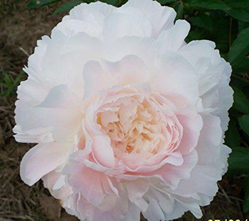 Autens Pride Peony - Doppia radice rosa peonia senza semi