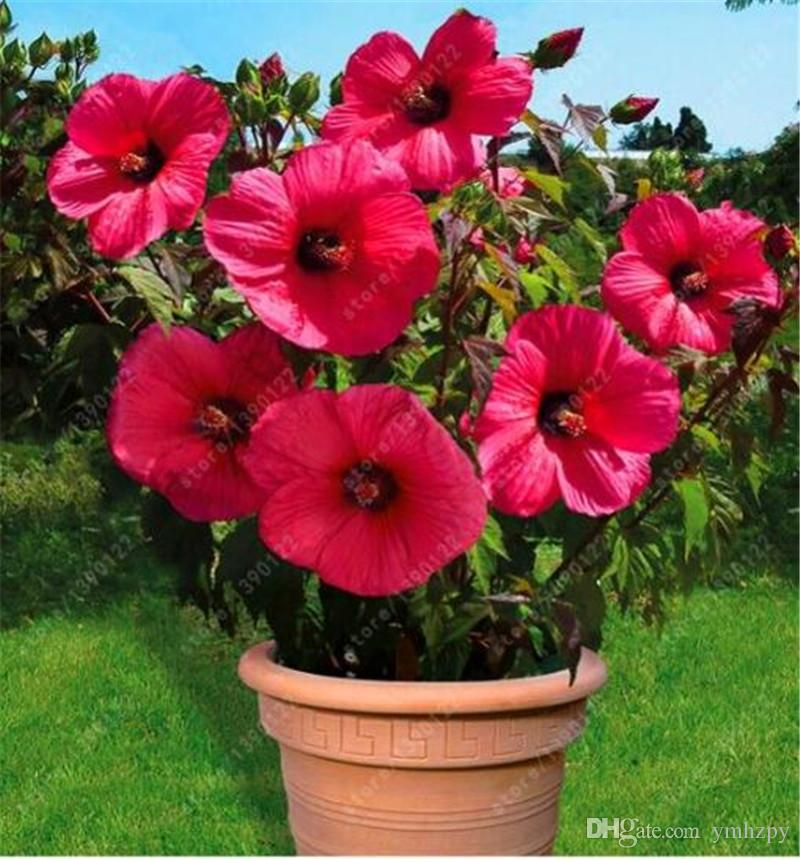 2021 Bag Hibiscus Flower Seeds Giant Bonsai Hibiscus Seed Balcony Potted Flower Seeds Dwarf Plant Easy Grow For Home Garden From Ymhzpy 0 75 Dhgate Com
