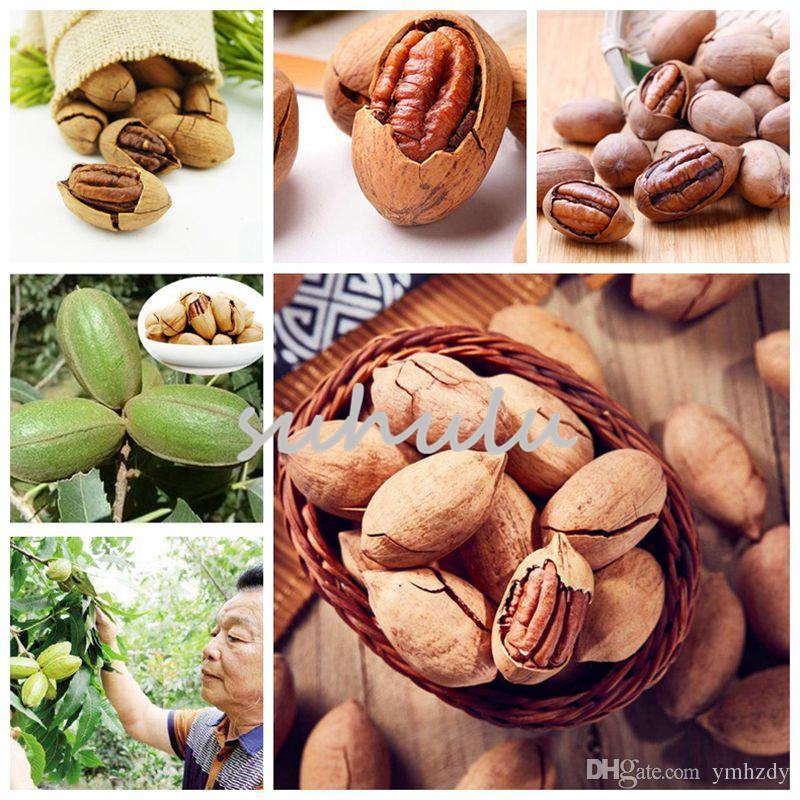 40 Fresh Pecan Delmas Seeds Nuts Natural From Israel Carya illinoinensis   פקאן