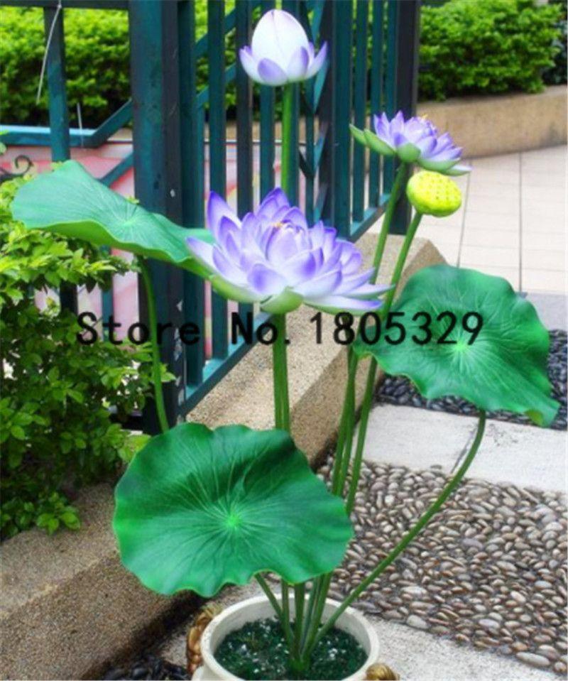 Plantes Aquatiques Fleur Graine Bol De Lotus 5 Pcs Giant Water Lily Graines De Lotus Jardin Décoration Plante 100% Véritable Rainbow Seeds