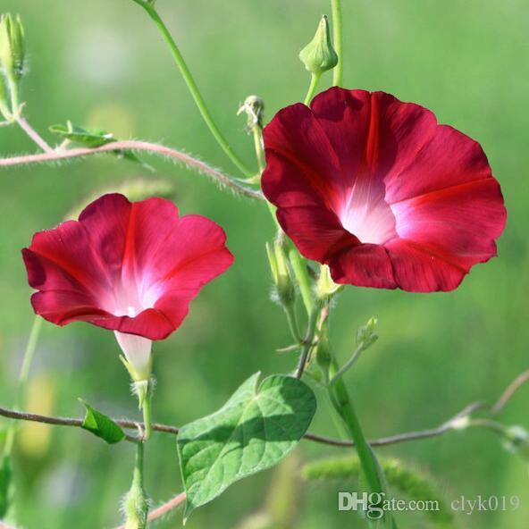 1 Original Pack 20 Seeds Morning glory, balcony bonsai flower seeds DIY home & garden