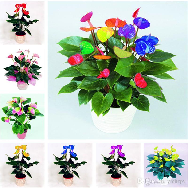 Sale 100 pcs rare color anthurium seeds, andraeanum grains,bonsai flower seeds Balcony flower pots for the garden home DIY Potted Plant