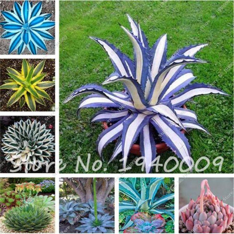 50 Unids / bolsa bonsai semillas de flores semillas de agave, raras semillas suculentas semillas de flores perennes plantas de maceta de agave para el hogar jardín decoración