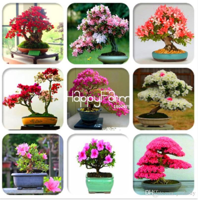 100 ٪ حقيقية! 30 قطع أزهار الكرز اليابانية ساكورا بذور المعمرة مثل الأزالية بذور زهرة سهلة تنمو للمنزل حديقة في بونساي حتى الجمال