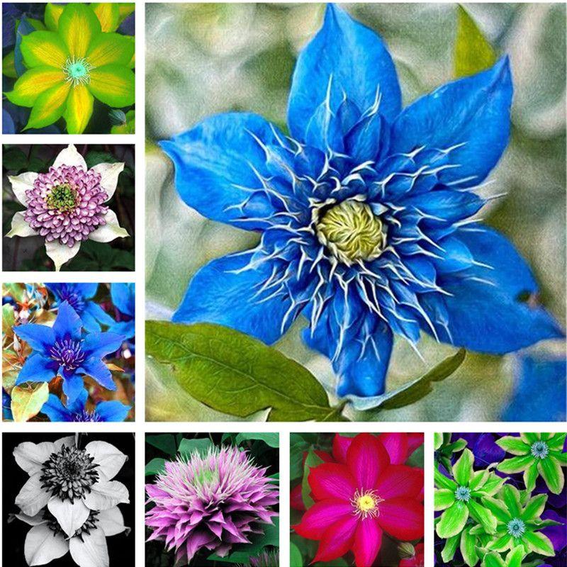 120 Rare Blue Clematis Hybridas Seeds Vaso Balcone Clematis Arrampicata Fiore Pianta Ombra Arrampicata Fiore Blu per la Casa Giardino