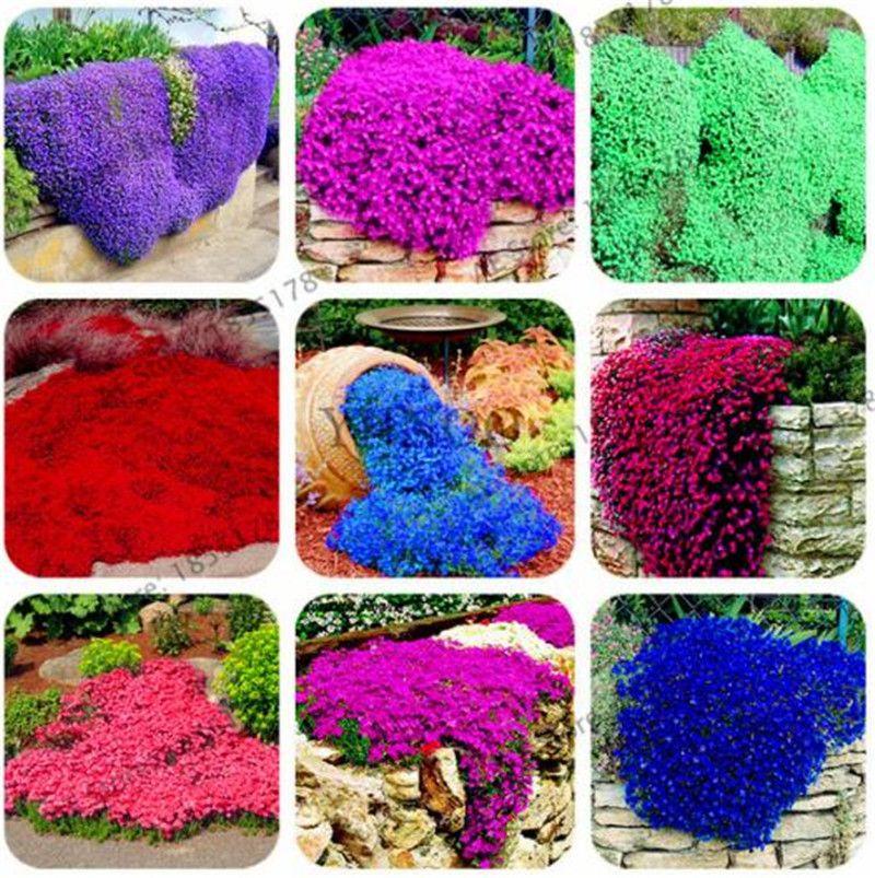 100 قطع نادرة روك كريس بذور تسلق النباتات الزاحف الزعتر بذور المعمرة غطاء زهرة للمنزل حديقة