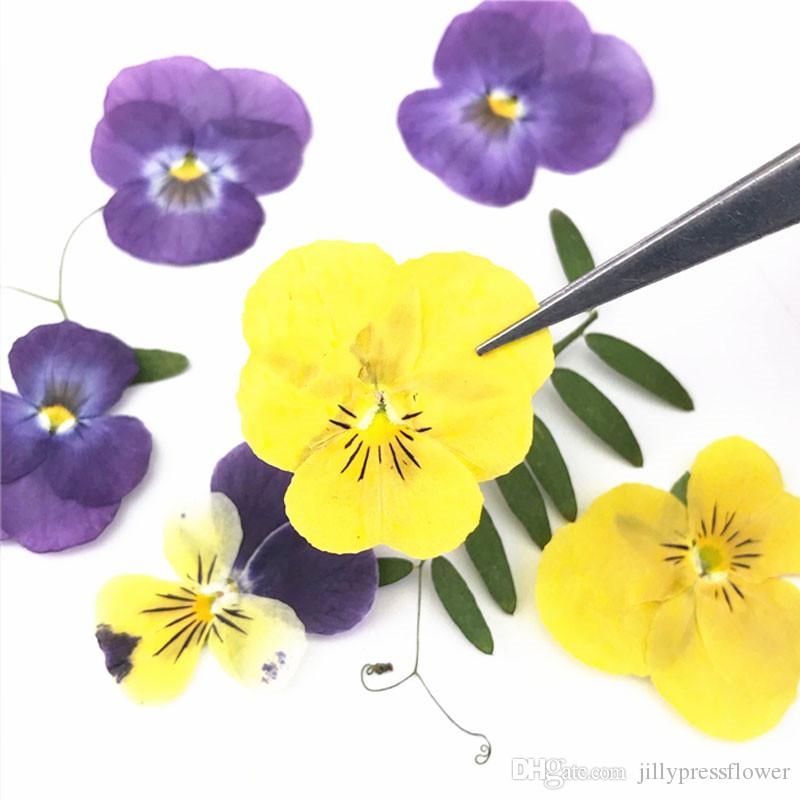 2020 2019 Pansy Natural Plant Press Flower Shiny Yellow Color Kids