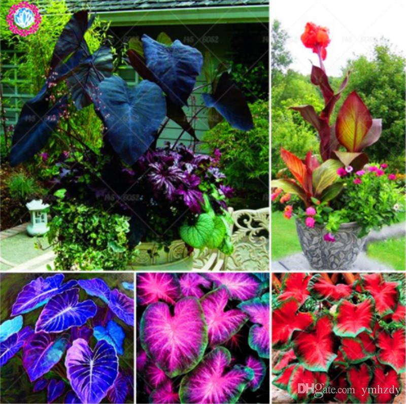 5 pc 다채로운 칸 나 씨앗 검은 꽃 씨앗 다년생 실내 또는 야외 식물 화분 된 대형 꽃 홈 정원에 대 한 분재 공장