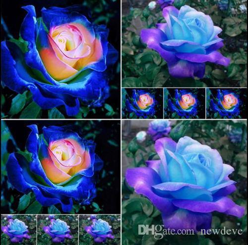 Nueva Rare Blue Pink Roses Semillas de flores Patio Jardín Bonsai Decoración Hermoso Balcón exótico Macetas de rosas Planta de jardín 100 semillas por paquete