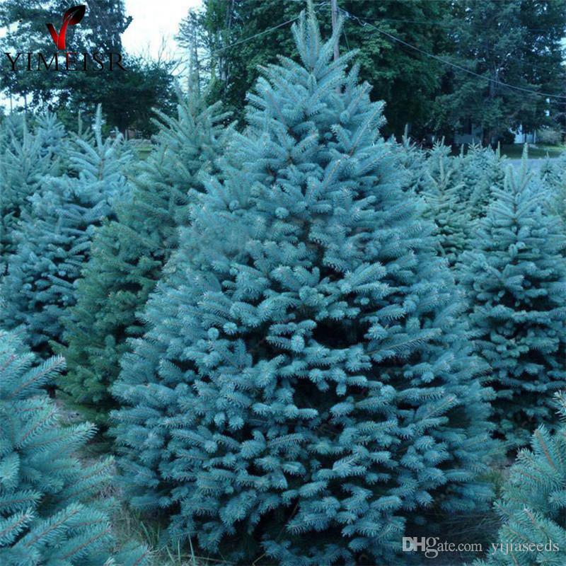 Christmas Tree Seeds.2019 True Colorado Blue Spruce Tree Seeds Picea Pungens Bonsai Tree Seeds Rare Outdoor Plant Seeds Christmas Tree Seeds Bag From Yijiaseeds 8 85