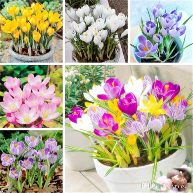 2020 Bag Many Varieties Saffron Seeds Mixed Saffron Flower