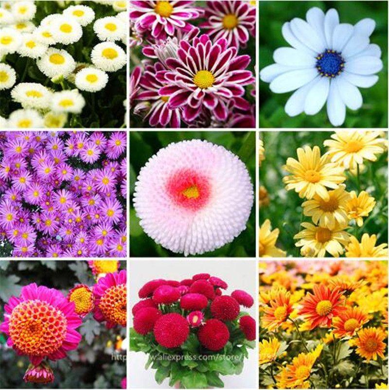 Confezione di semi di fiore margherita 100 pezzi di gelato alla vaniglia, semi di margherita fragola, semi di crisantemo fiori stagionali, fiore bonasi