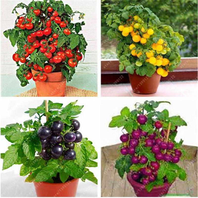 100 pz / borsa semi di pomodoro bonsai, deliziosi semi di pomodoro ciliegia, semi non OGM verdure commestibili cibo balcone in vaso da giardino pianta