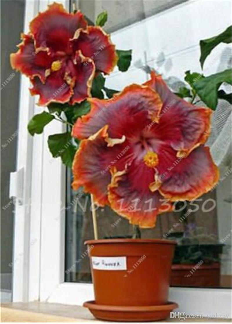 50 PCS Hibiscus Tree Seed Chinese Hibiscus Flower Hibiscus Seeds Cheap Flower Seeds Indoor Bonsai Plant Easy to Grow Garden