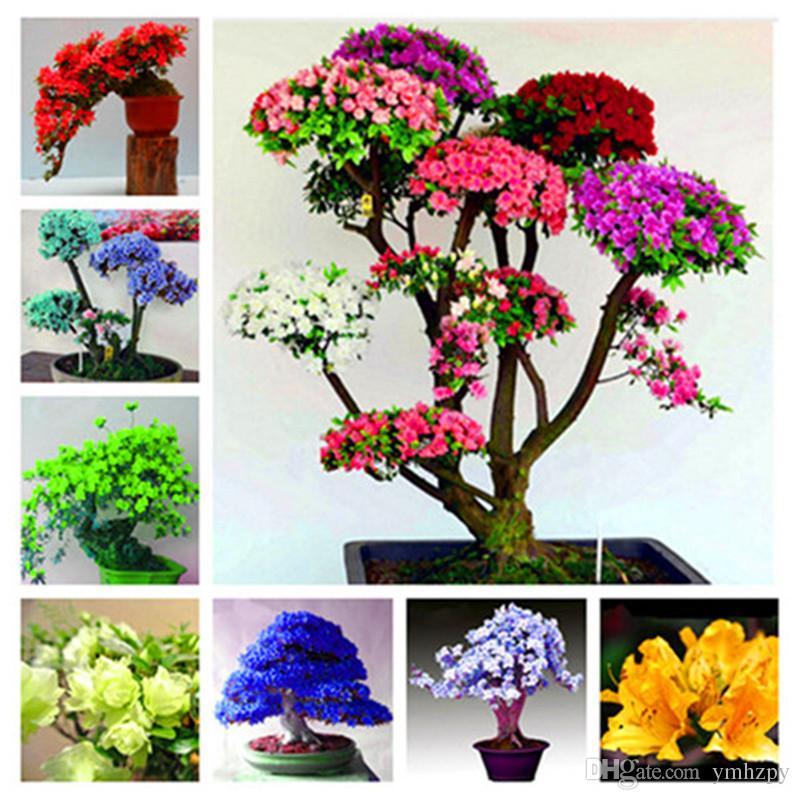 100 stücke Japanische Azalee Samen Rhododendron Azalee Blumensamen DIY Hausgarten Pflanzen Sieht Aus Wie Sakura Japanische Kirschblüten Blumensamen