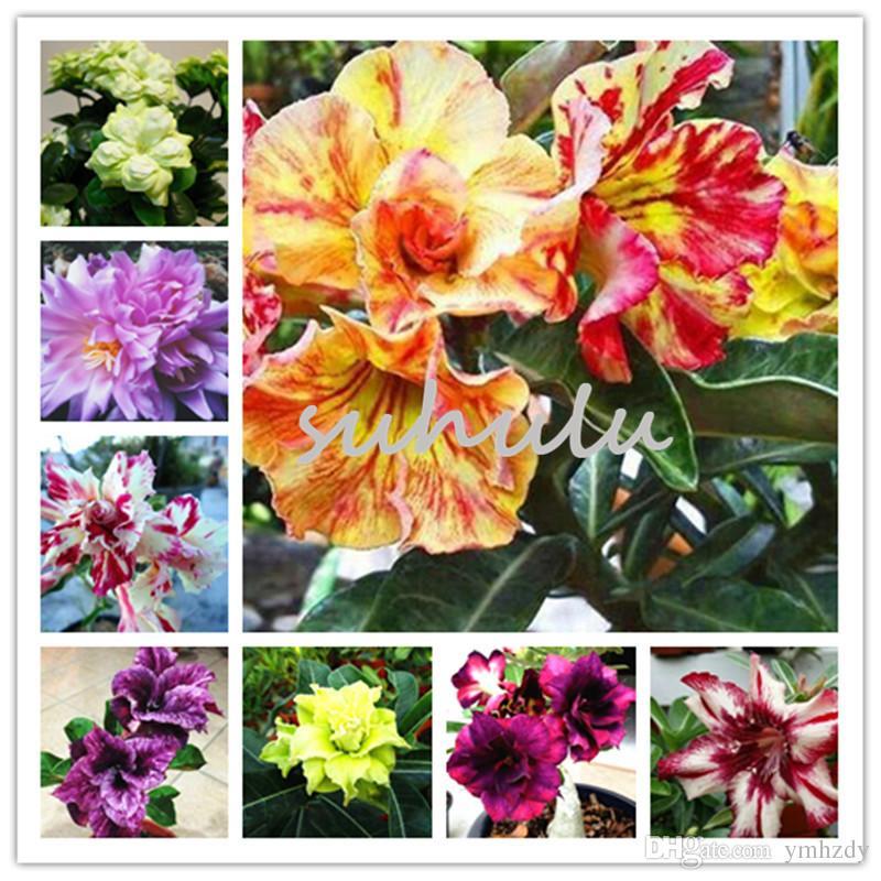 3 pcs / sac Desert Rose graines, Adenium Obesum Graines Double Pétales bonsaï fleurs Graines 100% vraie graine plante en pot pour jardin de la maison