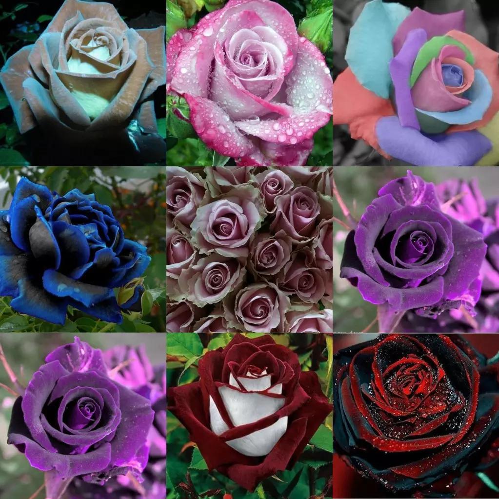 2019 Últimas semillas de flores color de rosa populares 9 colores semillas de jardín 100 unidades por paquete Envío gratis Plantas de jardín en casa Envío rápido