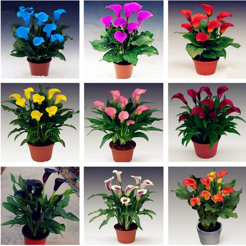 Freies Verschiffen 100 PC / Beutel Calla-Samen, Calla-Lilien-Samen, seltene Bonsais-Blumensamen (nicht Calla-Birnen), natürliches Wachstum für Hausgarten