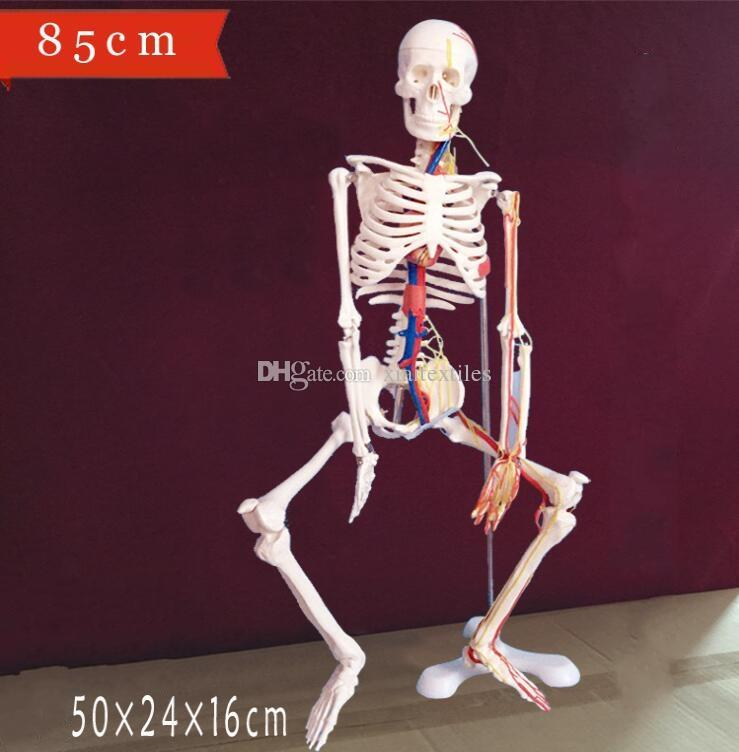wholesale New Human skeleton with spinal nerve disc model 85cm Can be active teaching medical mannequins body 1PC C006