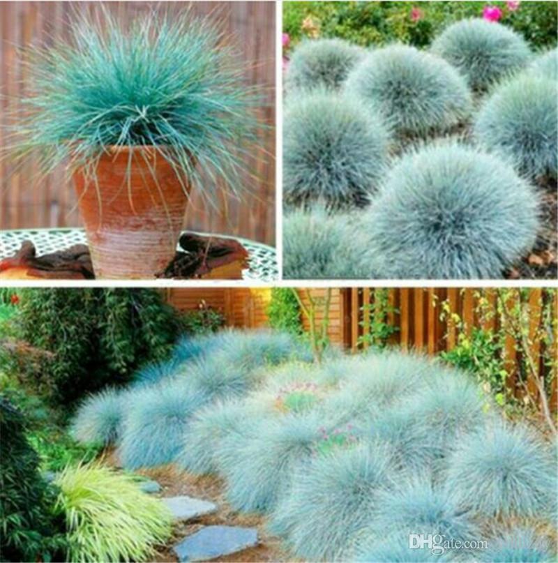 100 Adet Mavi Çayır Çimen Tohumları- (Festuca Glauca) Çok Yıllık Hardy Süs Çim Taze Büyümek O kadar Kolay