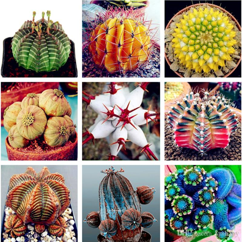 Vente chaude de plantes succulentes 100 pcs / paquet de graines d'Euphorbia Obesa, graines de fleurs de cactus très rares