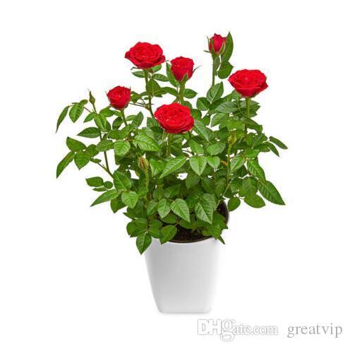 Seltene Rosa Sonnenblumen 20 Samen