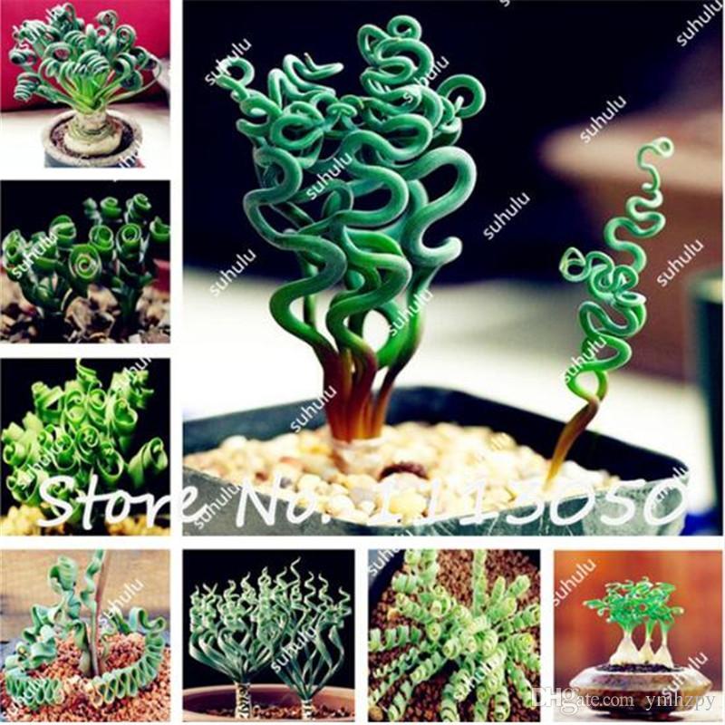 200 Unids Primavera Semillas de hierba Plantas suculentas Semillas de hierba DIY bonsai En maceta Jardín Inicio Planta exótica Hierba en espiral Bonsai Semillas