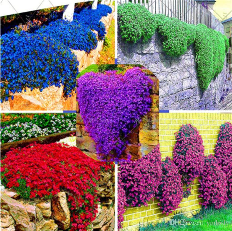 100 pz / borsa roccia crescione semi rampicante orzo pianta perenne bonsai piante da fiore semi crescita naturale decorazione per la casa giardino