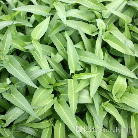 30*Water Spinach Kangkong River Spinach Garden Vegetable Green Seeds T3V5