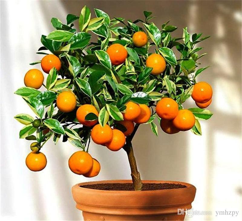 100 piezas / bolsa de semillas de naranja trepando bonsai semillas de árboles de naranja Semillas de frutas orgánicas como un árbol de Navidad olla para planta de jardín de su casa