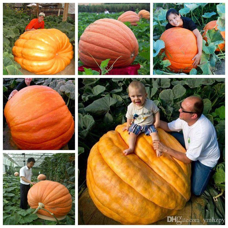 20Pcs giant pumpkin seeds halloween pumpkin organic seeds