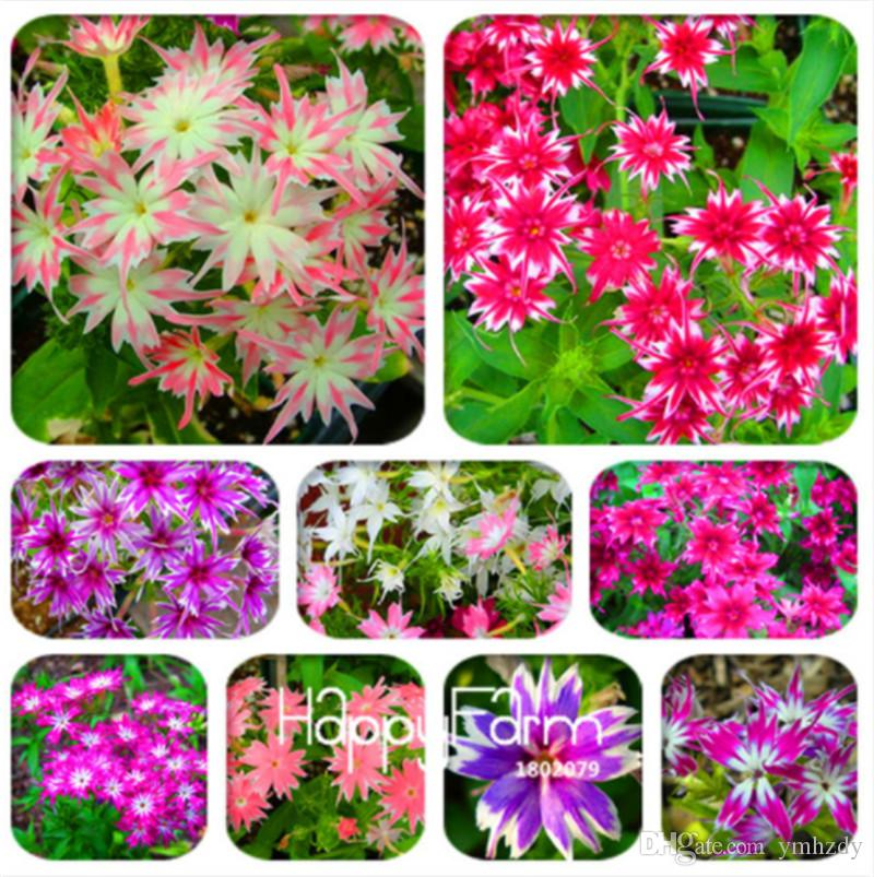 2018 Hot Sale ! 100 Pcs Phlox Plants,Phlox Seeds Phlox Flowers Bonsai Flower Seeds 10 Colors Potted Diy Home Garden Plant