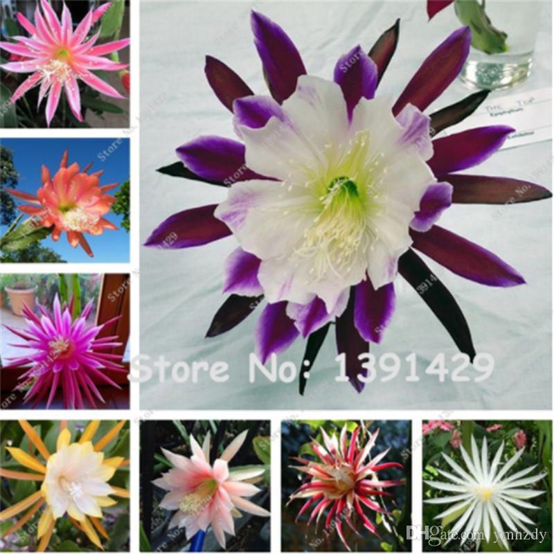 Semillas de flores Epiphyllum híbridas mexicanas 200 Unids / bolsa Raras Orquídeas Cactus Planta Jardín Decoración Bonsai Flores Regalo de Navidad para Niños Belleza