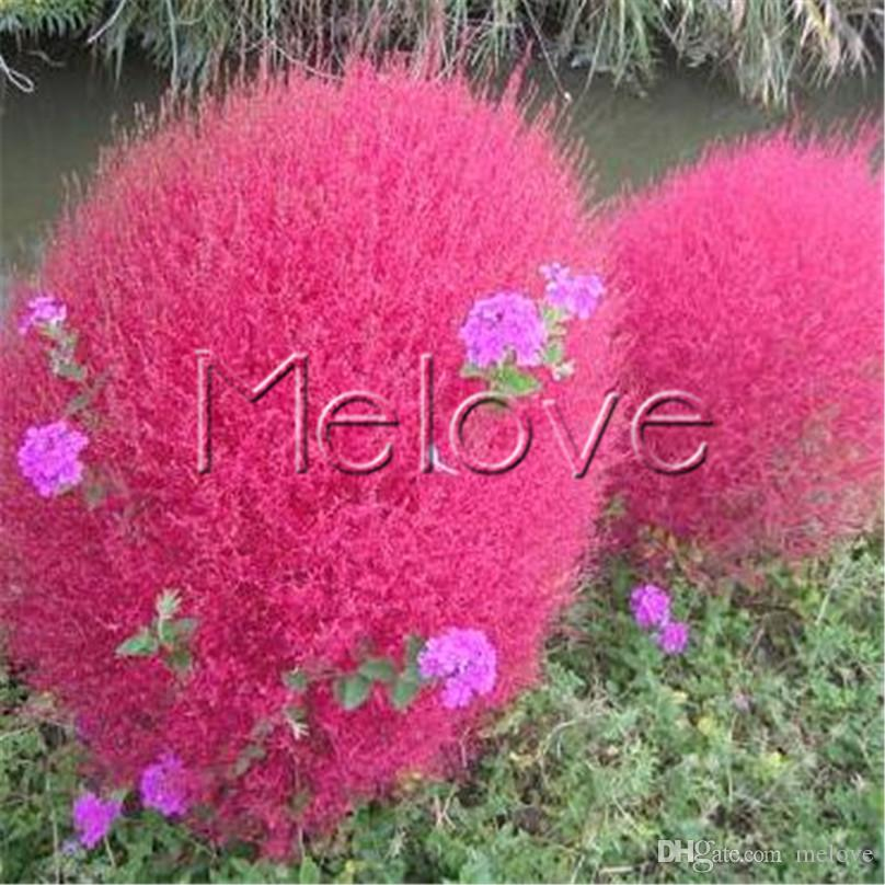 2020 500 Seeds Red Kochia Scoparia Summer Cypress Burning Bush