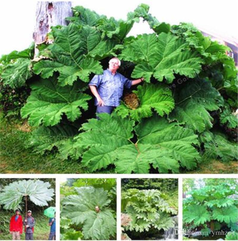 50 Pz / borsa Semi Gunnera Manicata Chiamati anche semi di rabarbaro gigante crescono in ombra parziale foglie enormi piante all'aperto in giardino