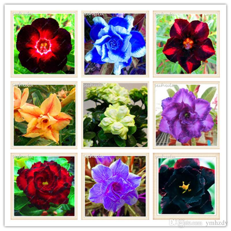 4 Pcs Mixte Desert Rose Graines Adenium Obesum Graines Double Pétales Balcon Bonsaï Fleurs Graines 100% Vraie Beauté Votre Jardin