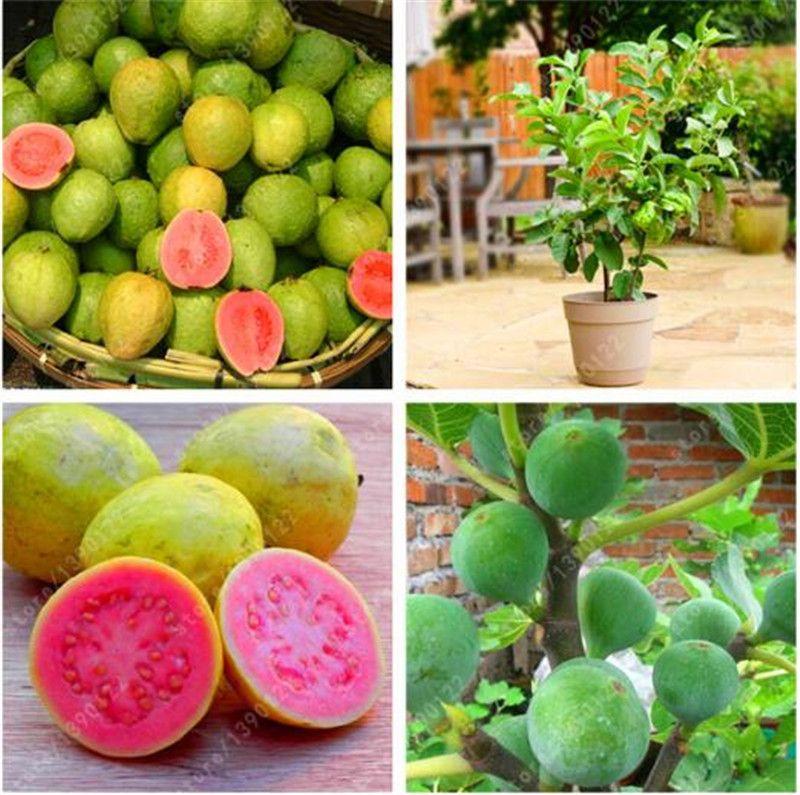 Acheter Graines De Goyave Délicieux Fruits Tropicaux Plantes Non ...