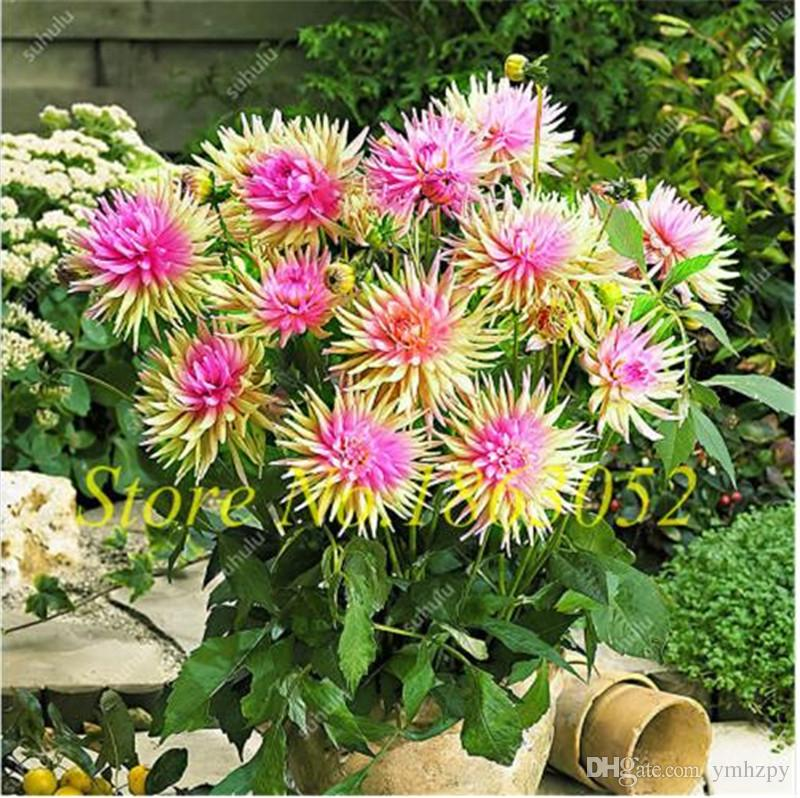 2021 Rare Rainbow Dahlia Seeds Mixed Colour Rare Chinese Dahlia Bonsai Seed Perennial Plant Bonsai Flowers For Home Garden From Ymhzpy 0 76 Dhgate Com