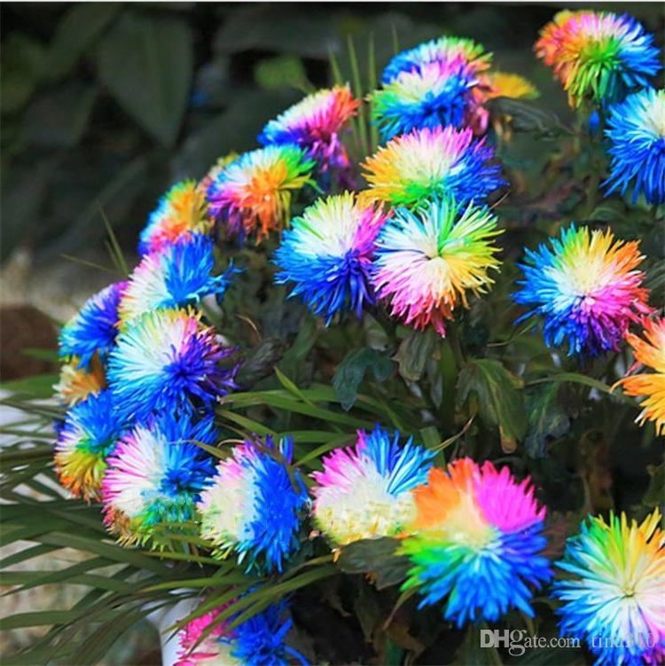 100 Pcs / bag Rainbow Chrisanthemum Flower Seeds Ornamental Bonsai, Rare Color, More Chrysanthemum Seeds Garden Flow Garden Flor Garden Supplies I186