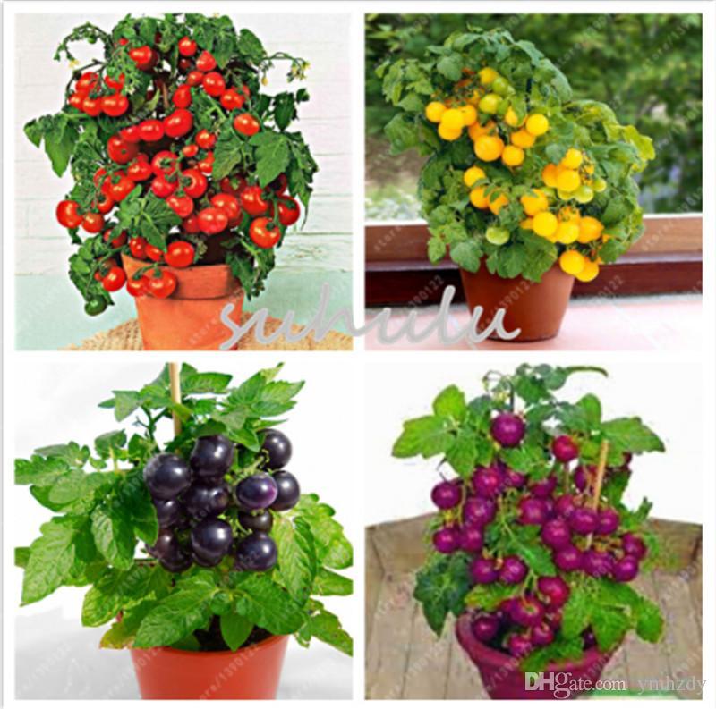 200 pcs / sac graines de tomates bonsaï, délicieuses graines de tomates cerises, légumes sans OGM légumes comestibles balcon plante en pot de jardin en pot